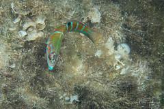 Ornate wrasse (Thalassoma pavo) Female.