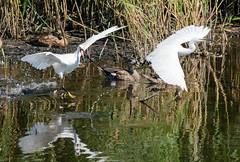 Little Egrets Scrapping (Egrets 4 of 6)