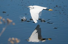 Little Egret Fly-by (Egrets 5 of 6)