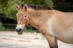 Kůň Převalského (Equus przewalskii )