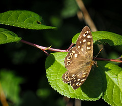 'Speckled Wood' butterfly - Pararge aegeria tircis