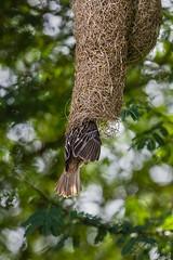 Baya Weaver entering it's nest