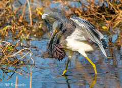 SONY-A9,  Tri Colored Heron,   03976 ,September 18, 2019