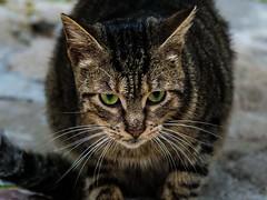 Fierce Cat Ready to Pounce!