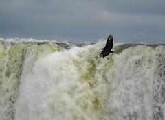 Vulture by Iguacu Waterfall II