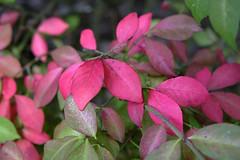 Burning Bush - Punchy Red