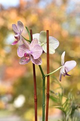 Orchid in Autumn