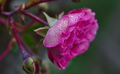 """Feiertagsrose • <a style=""""font-size:0.8em;"""" href=""""http://www.flickr.com/photos/181714318@N05/48966446011/"""" target=""""_blank"""">View on Flickr</a>"""
