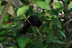 紅嘴黑鵯(Black Bulbul)