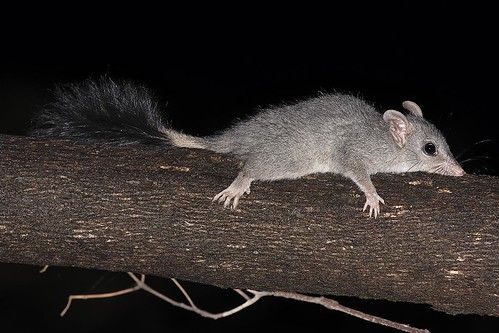 """Brush-tailed Phascogale, Phascogale tapoatafa - Locksley, Vic • <a style=""""font-size:0.8em;"""" href=""""http://www.flickr.com/photos/95790921@N07/49005504767/"""" target=""""_blank"""">View on Flickr</a>"""