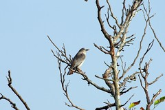 灰頭椋鳥(Chestnut-tailed Starling)