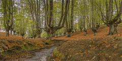 Beech forest of Otzarreta 2.
