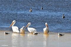 Sanibel Island - White Pelicans