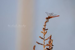 Dragonfly (Sympetrum fonscolombii