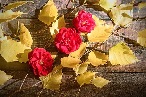 Roses Leaves Autumn Rózsák Levelek Ősz
