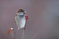 House sparrow, Gråsparv (Passer domesticus)