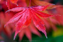 Herfst Macro (Japanse Esdoorn - Japanese Maple)