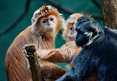 Ebony Langurs at the Bronx Zoo