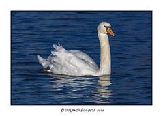 Mute Swan (Cygnus olor) Full Frame in perfect light