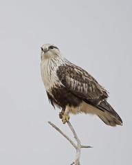 Rough-legged Hawk  7R42125