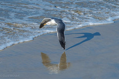 California Gull being chased by his shadow