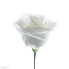 w-white-rose