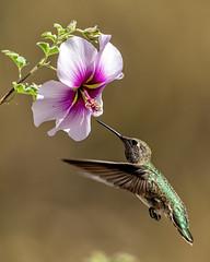 Hummingbird 31