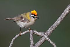 Common Firecrest | brandkronad kungsfågel | Regulus ignicapilla