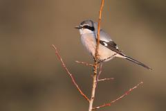 Southern Grey Shrike | ökenvarfågel | Lanius meridionalis