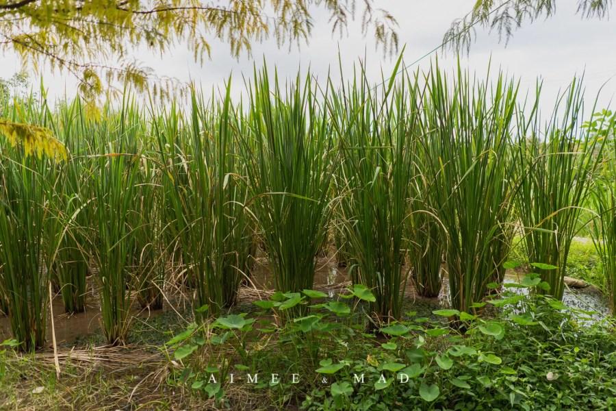 【新北.三芝】一起下田踩泥巴,半日農夫採茭白筍體驗!