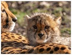 Gepard Mutter mit Jungen