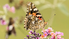 Painted Lady on a Butterfly Bush