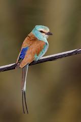 Abyssinian Roller | savannblåkråka | Coracias abyssinicus