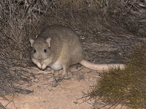 "Boodie - Burrowing Bettong - Bettongia lesueur, Bernier Island • <a style=""font-size:0.8em;"" href=""http://www.flickr.com/photos/95790921@N07/49675516842/"" target=""_blank"">View on Flickr</a>"