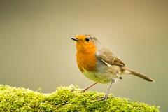 Robin .