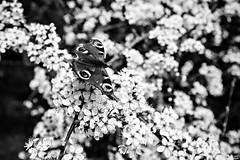 La promesse de la chenille n'engage pas le papillon.
