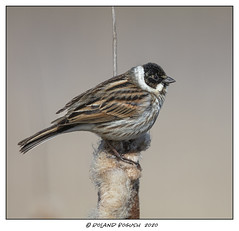 Reed Bunting (m) up close [Explored]