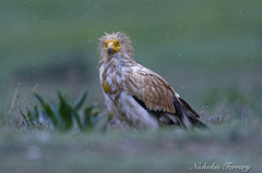 Egyptian Vulture greeted with heavy rains after the long migration north