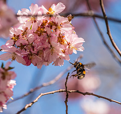 Bumblebee at Cherryblossoms