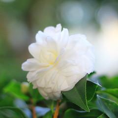 天橋下盛放的茶花
