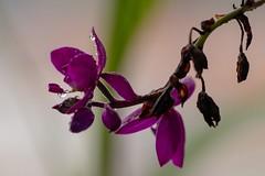 Flor Orquídea Grapete / Coquinho