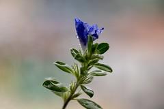 Flor Mimo do Céu