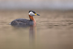 Red-necked Grebe | gråhakedopping | Podiceps grisegena