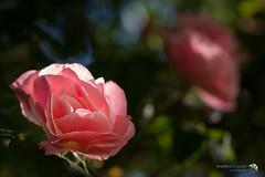 La solitudine delle rose in quarantena