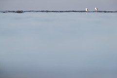 Great Black-backed Gull | havstrut | Larus marinus
