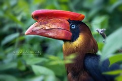 Dvojzoborožec hnědavý (Buceros hydrocorax)