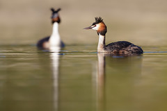 Great Crested Grebe | skäggdopping | Podiceps cristatus