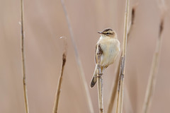 Sedge Warbler | sävsångare | Acrocephalus schoenobaenus