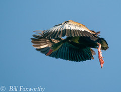 Sony A9,    Black Bellied Whistling Ducks ,           DSC00172,   May 04, 2020,  1-1250 sec at f - 9.0,   ISO 500         -
