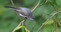 Blue-gray Gnatcatcher female